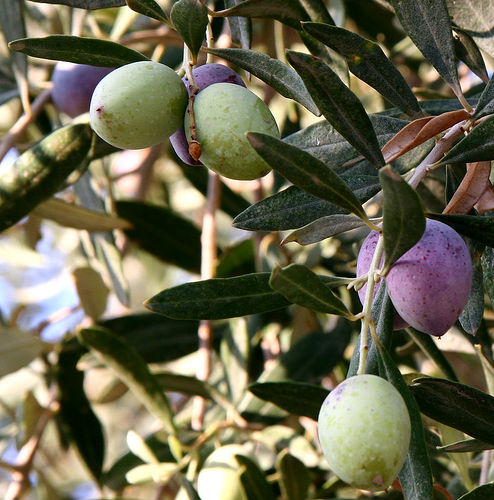 A picture of olives in Jordan