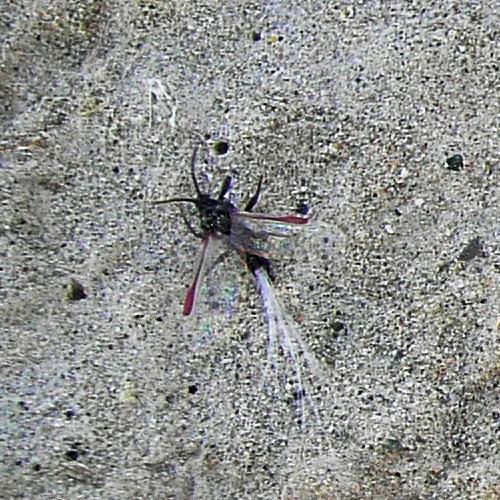 Porphyrophora hamelii patinėlis