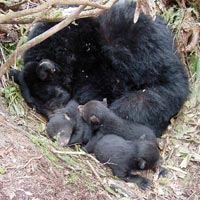 English: Black Bear mother and cubs in den,, h...