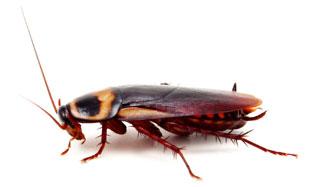 Image result for german cockroach]