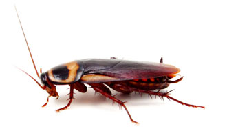 Image result for german cockroach]