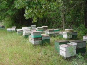 English: Apiary of Langstroth hives in South C...
