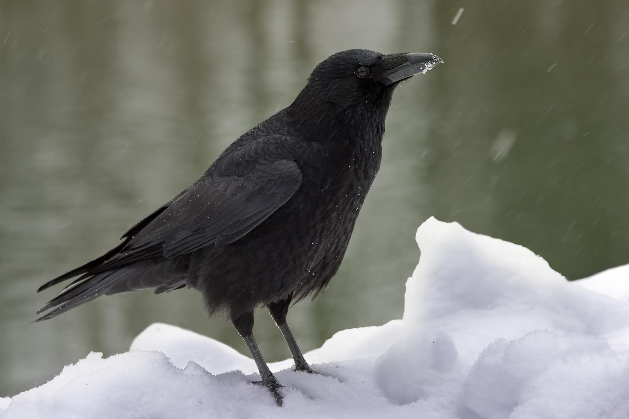 Fichier:Carrion Crow Corvus corone.jpg — Wikipédia
