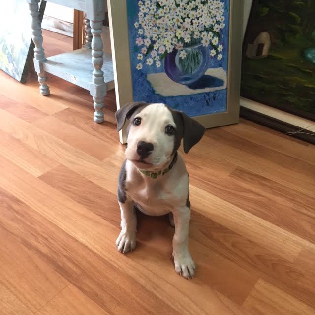 %28Pit Bull%29%2C %28pitbull%2C dog%29 beautifull precious amazing %28female puppy in south america%29 Girl Pitbull Dog Names