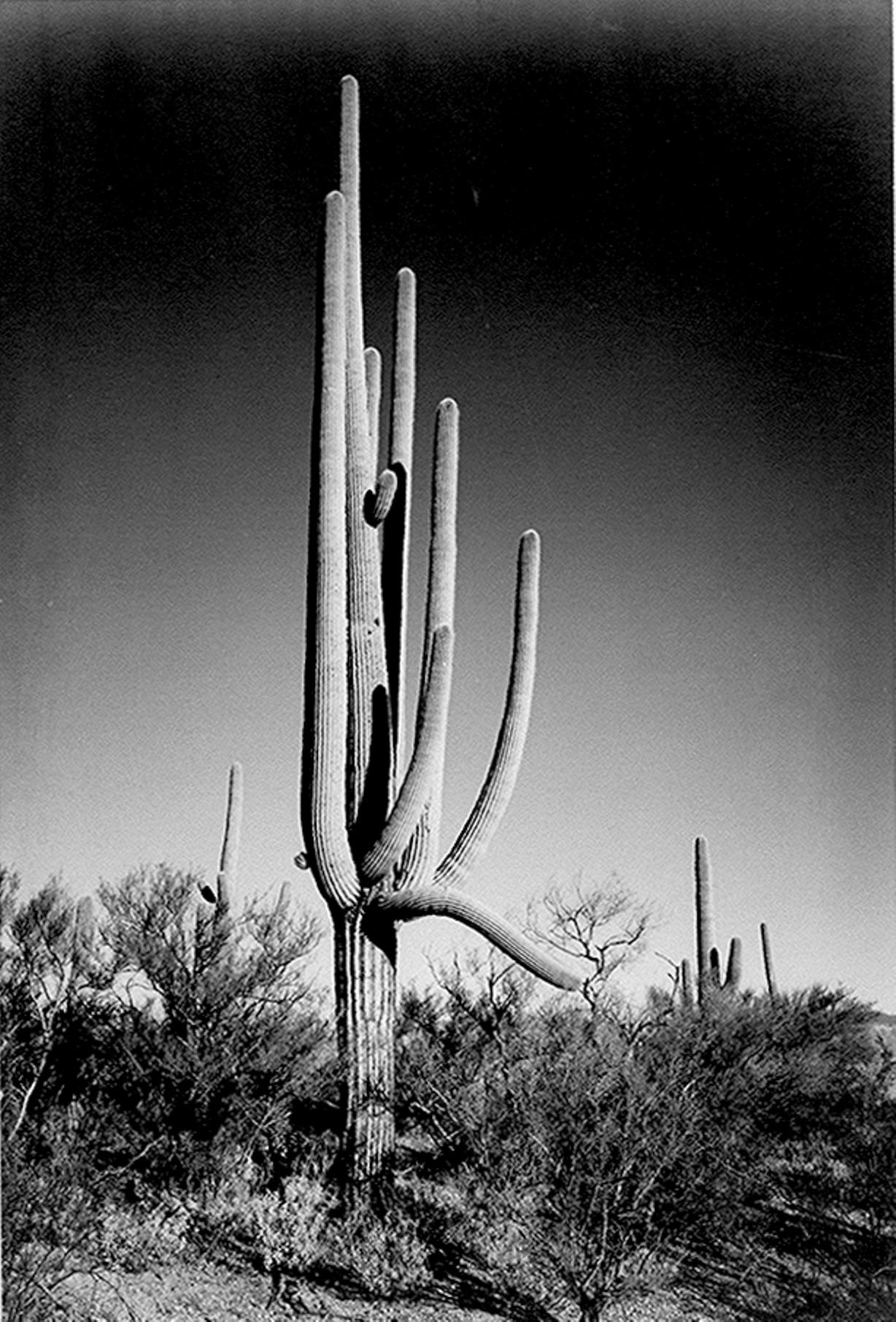 Ansel Adams' Saguaro Cactus