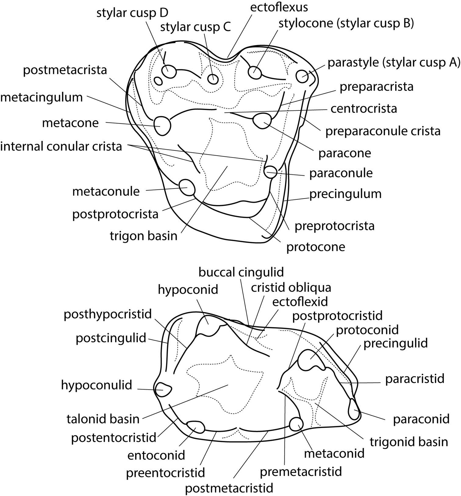 File Glasbius Molar Nomenclature