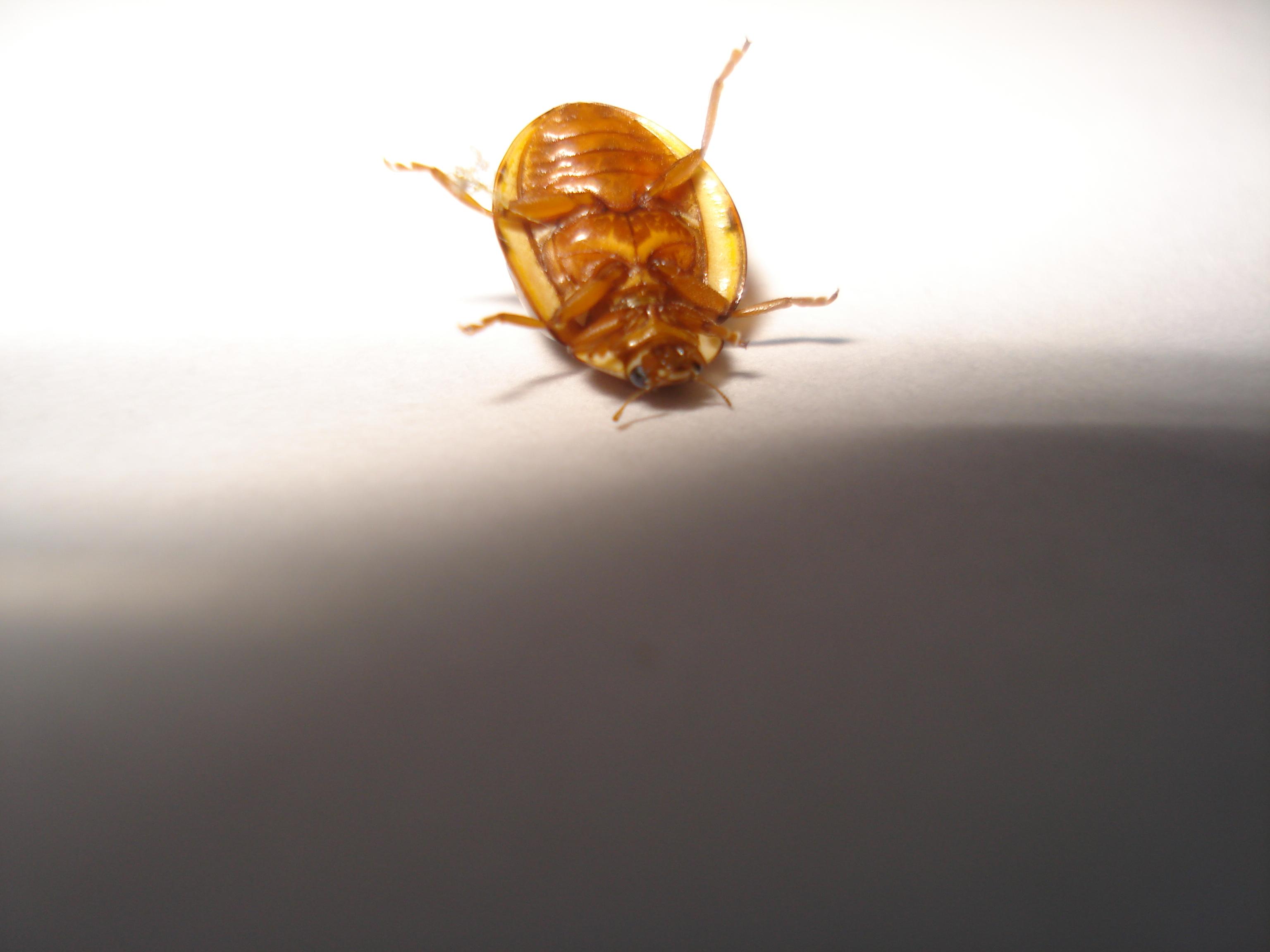Cockroach look-alike
