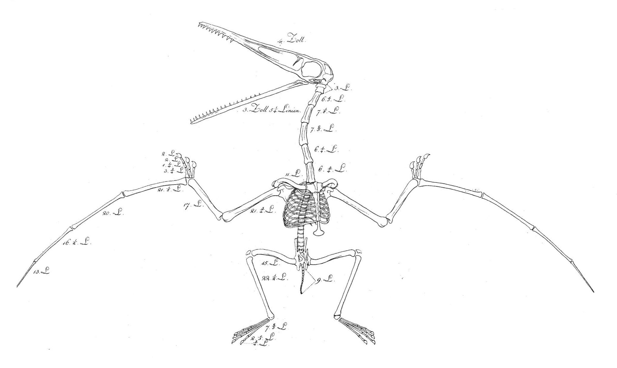 File Pterosaur Reconstruction Soemmerring