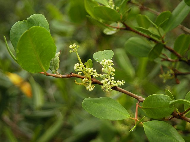 Datei:Laguncularia racemosa.jpg