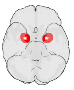 Photo of Amygdala