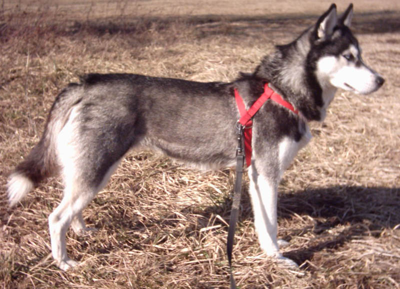 CTVT evolved in an old Asian dog line, like the husky