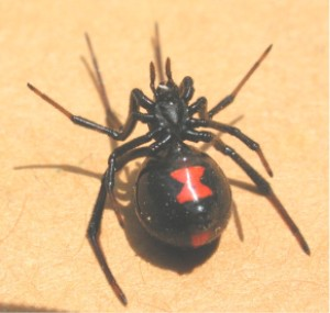 Black widow from below. Hemingway, South Carolina