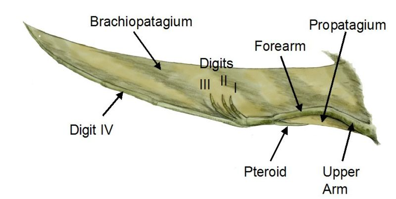 file pterosaur wing bw jpg wikipedia the free encyclopedia