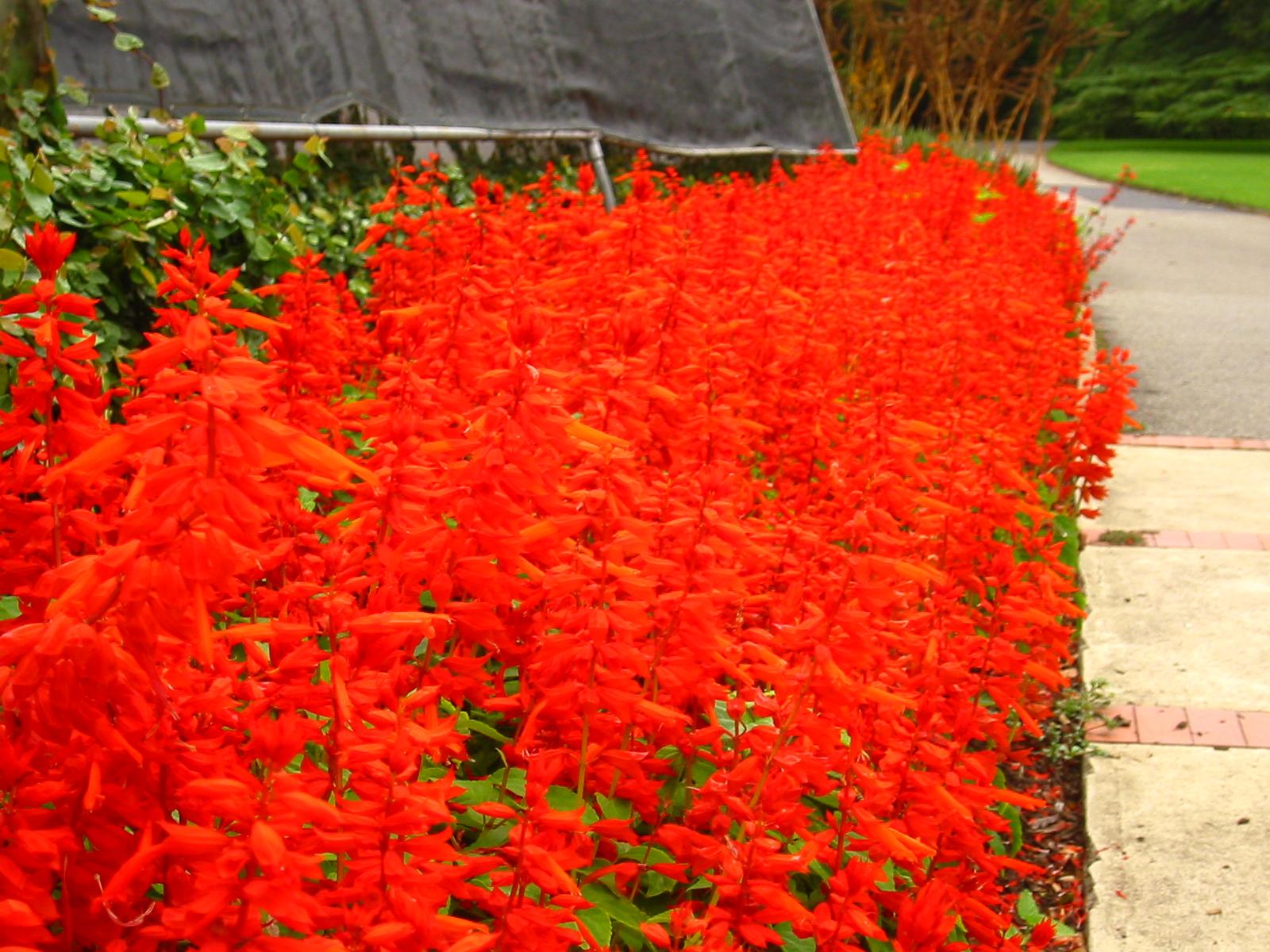 English: Shocking Red in botanical garden