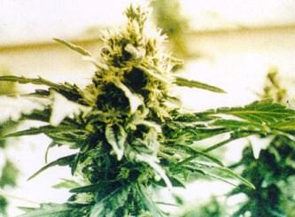 File:Marijuana plant.jpeg