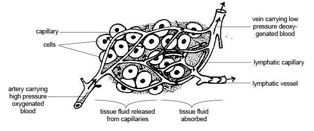 Anatomy And Physiology Of Animals Lymphatic System