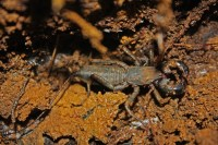 Vinegaroon on soil showing clawed pedipalps, elongated feeling legs, and acid-squirting tail.
