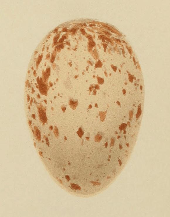 English: Egg of Crex crex