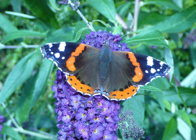 English: Red Admiral Butterfly (Vanessa atalan...