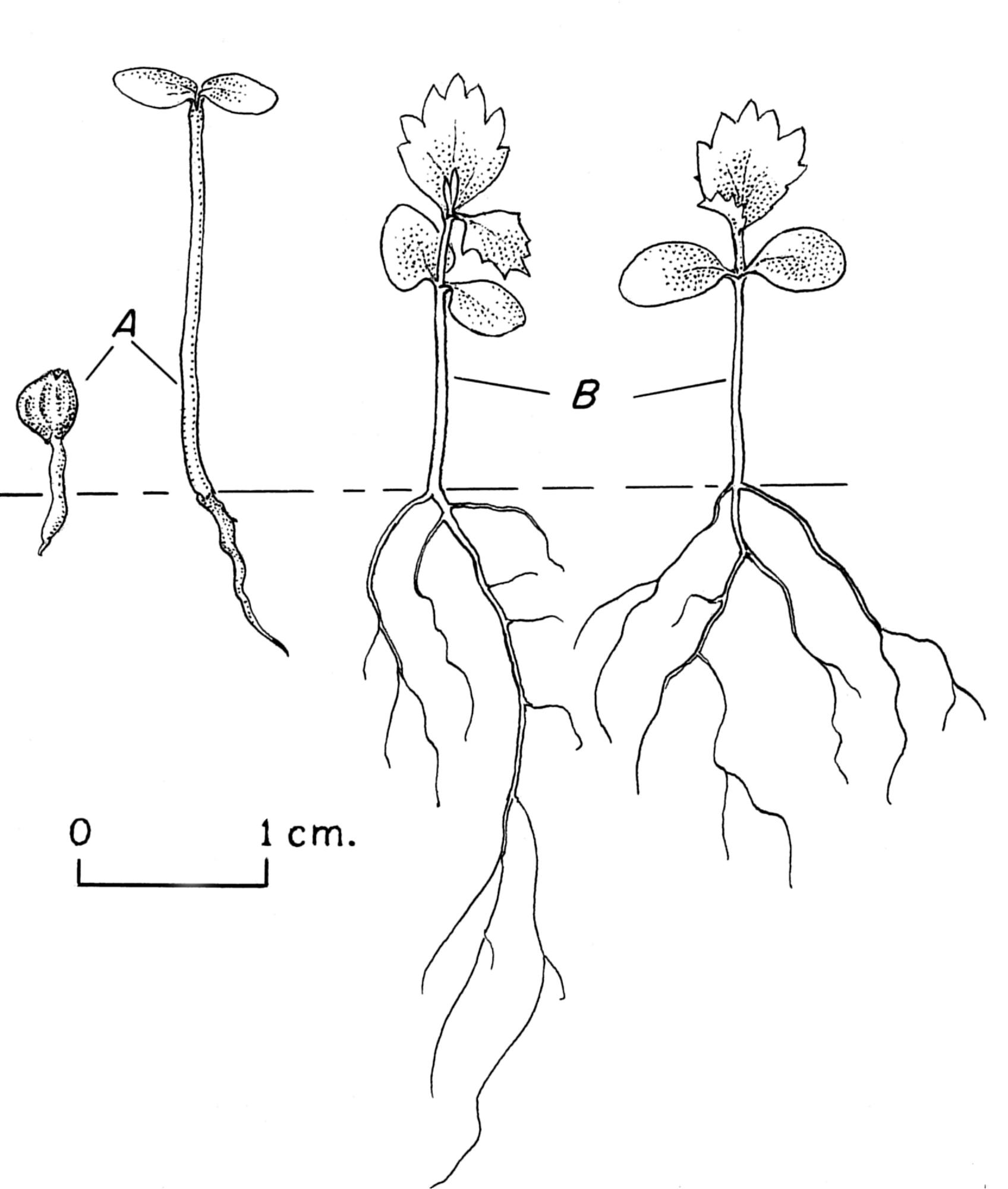 File Alnus Seedling Drawing