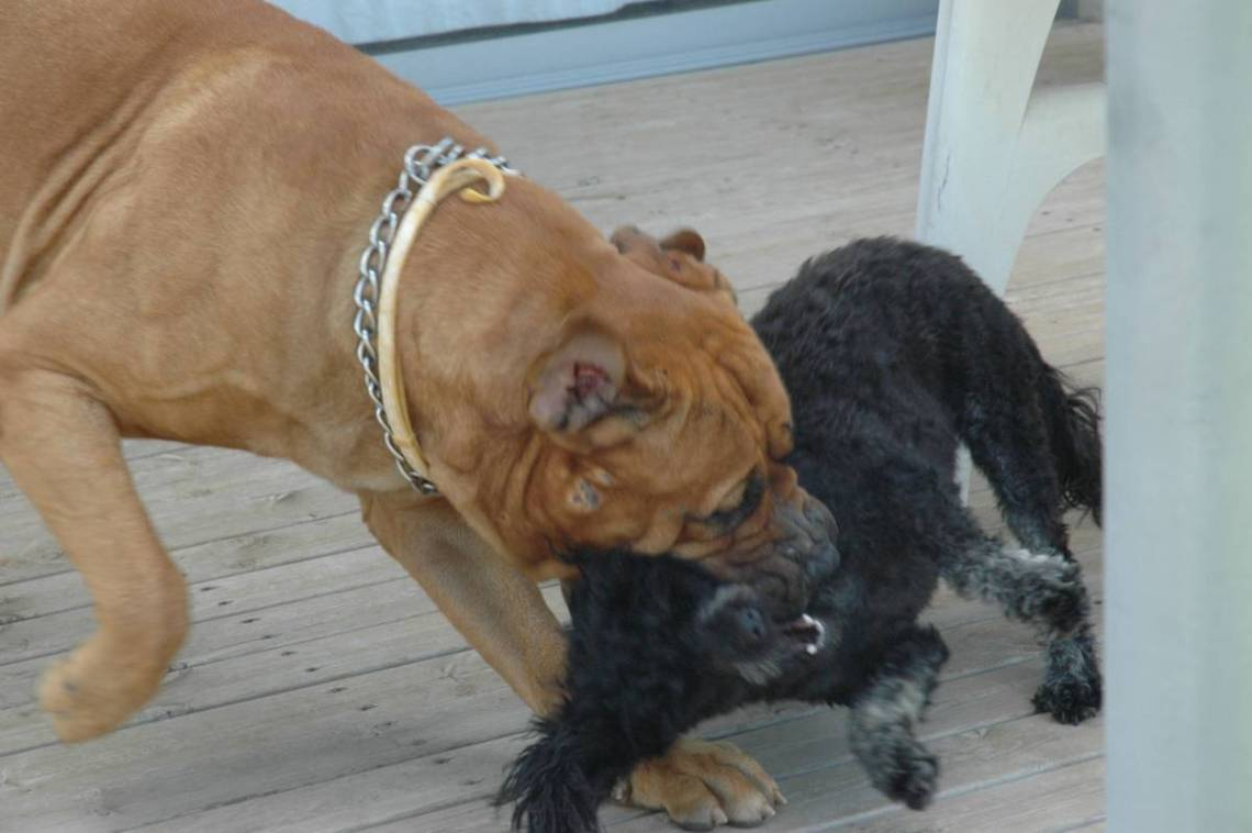 Bullmastiff playing with poodle Pitbull Dog Attack Video