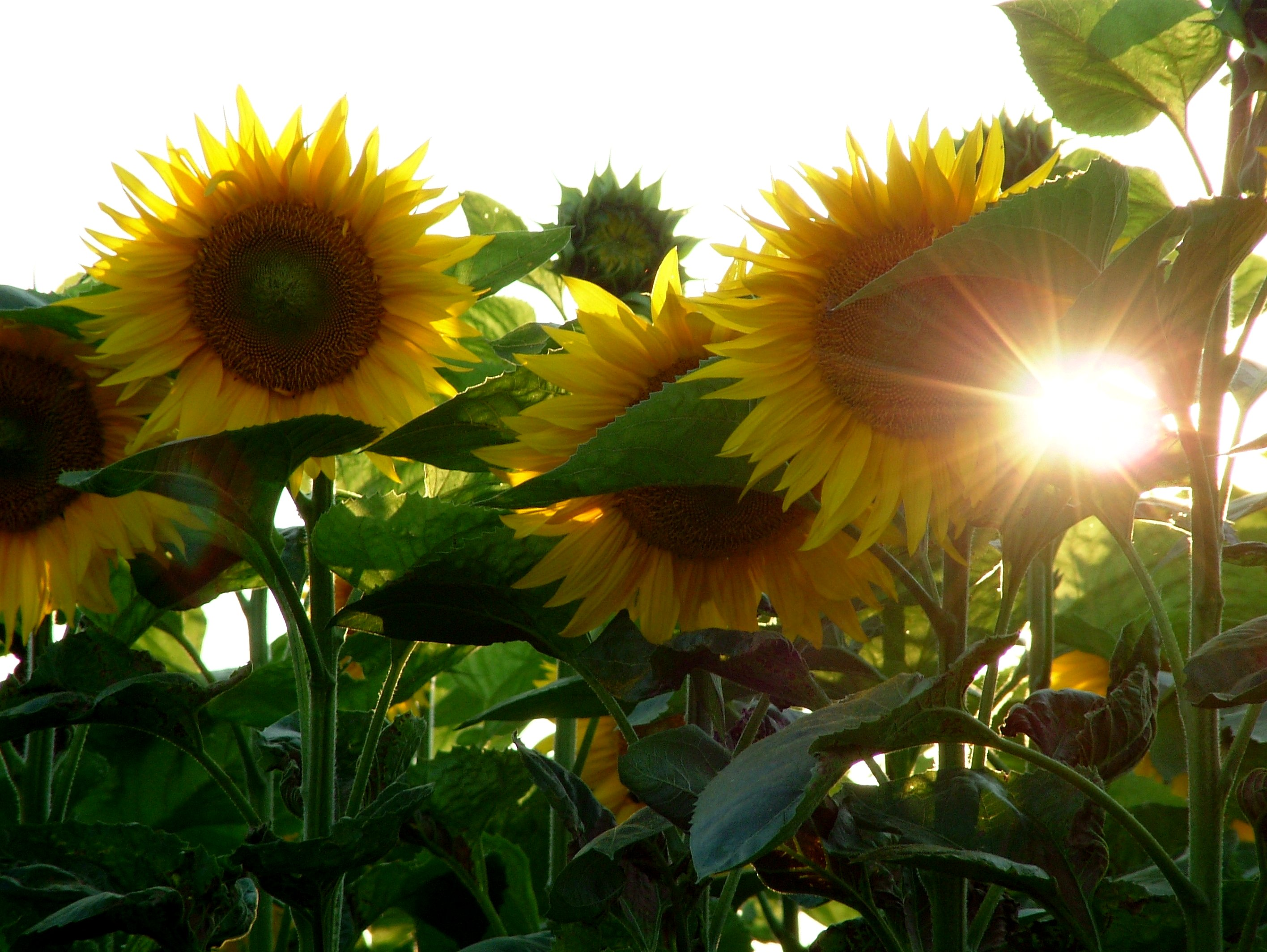 Photograph showing a field of sun flowers and ...
