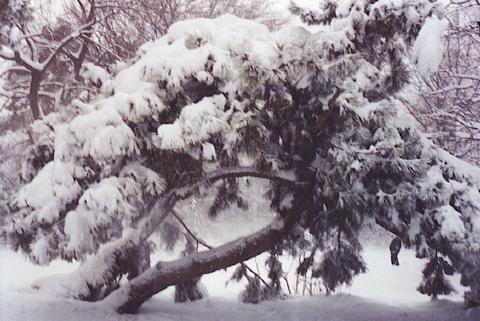File:Snow on a Tree.jpg