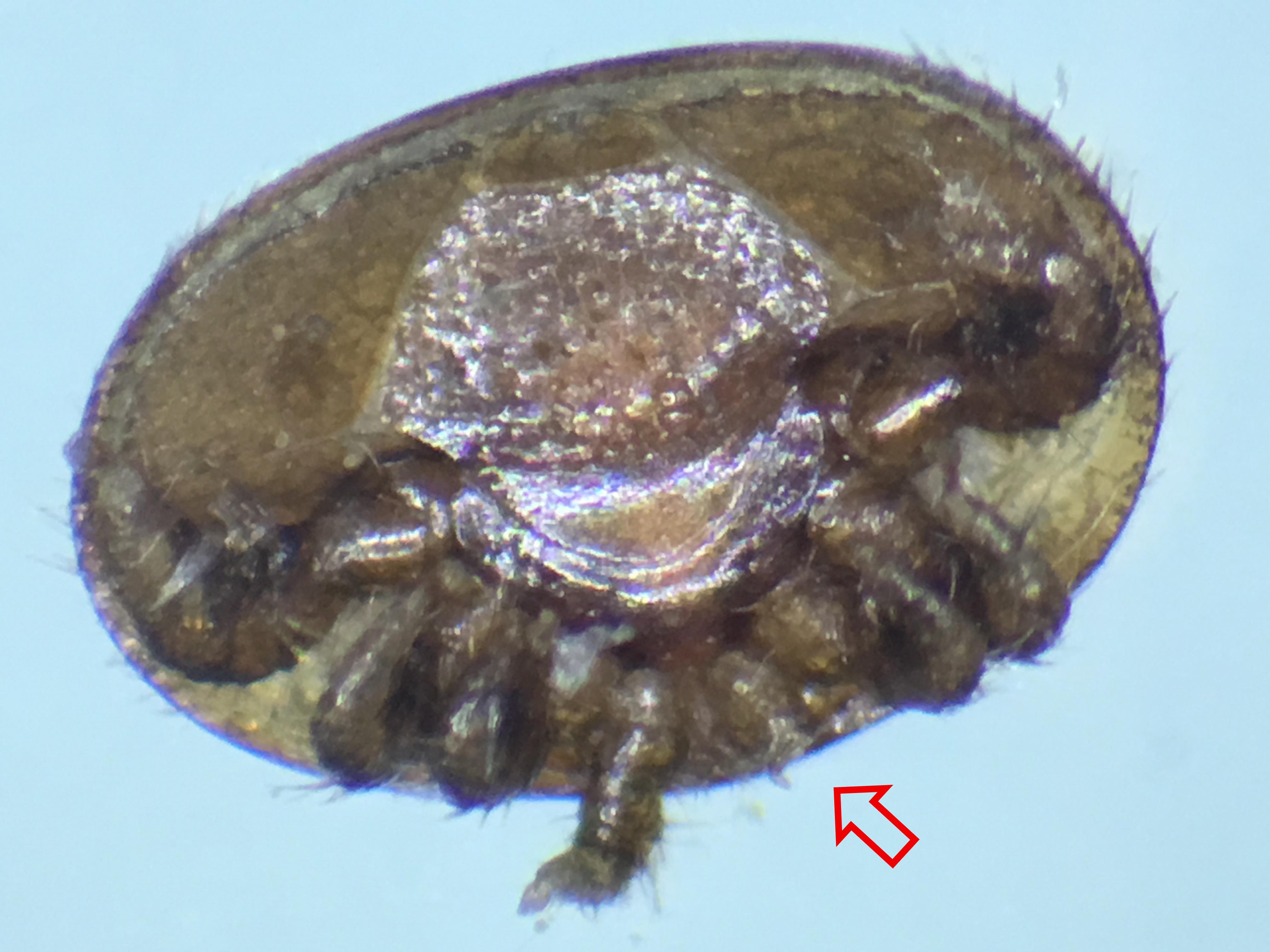 groomed varroa mite