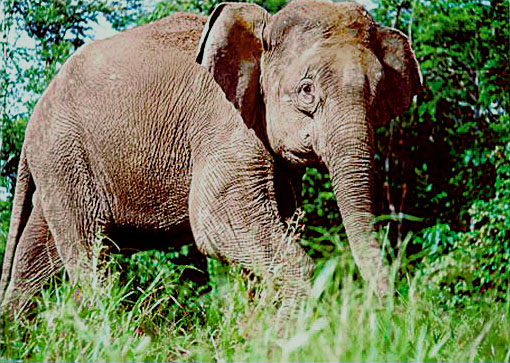 File:Borneo-elephant-PLoS Biology.jpg