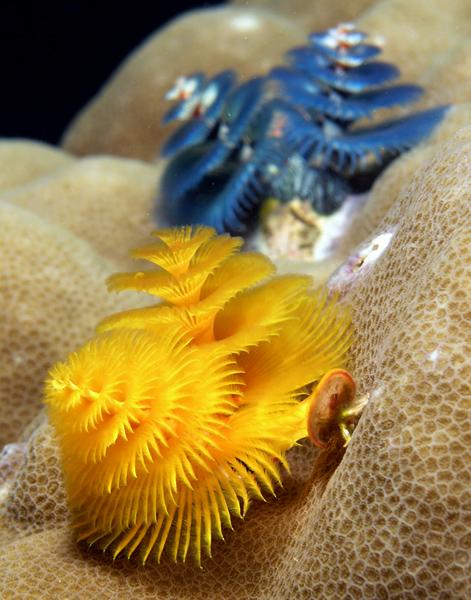 File:Spirobrancheus giganteus.jpg