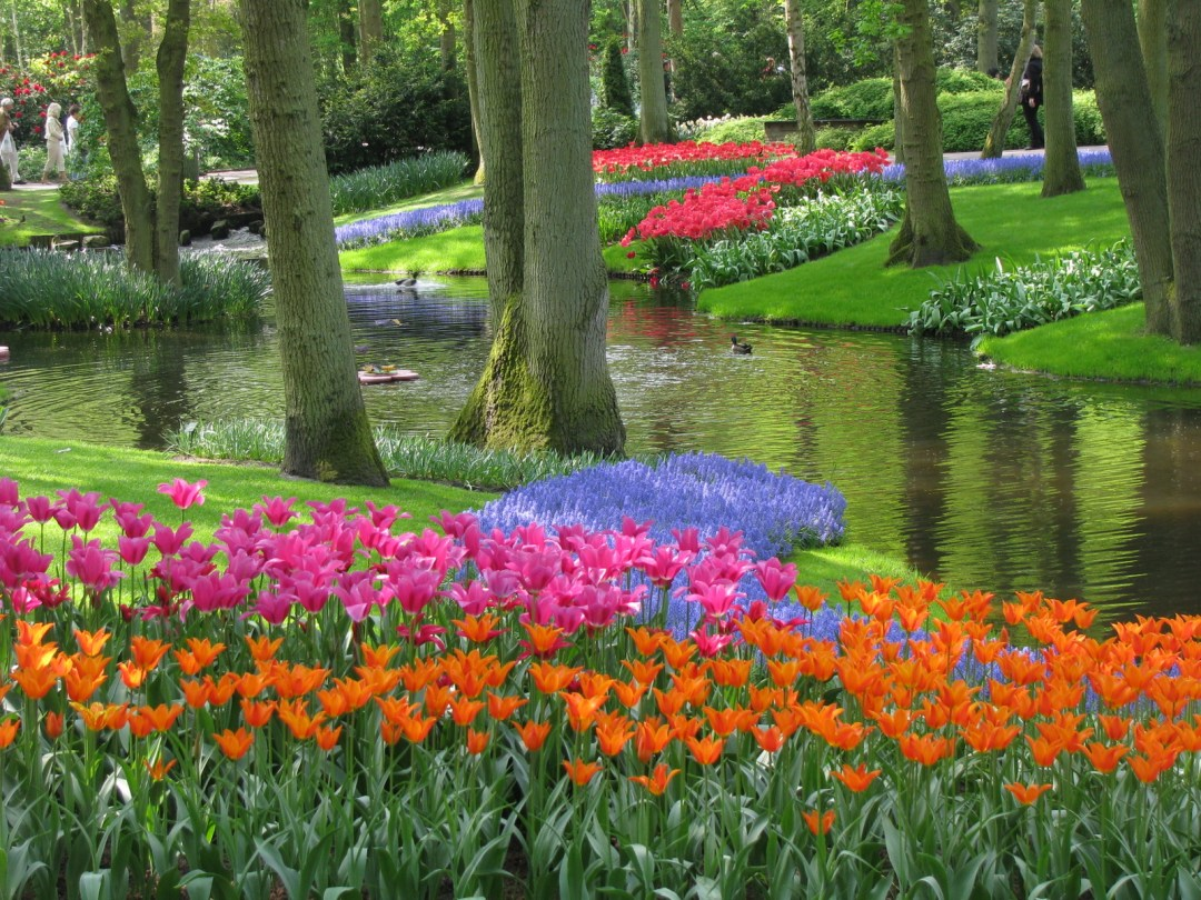 Tulips in the Netherlands - Wikipedia