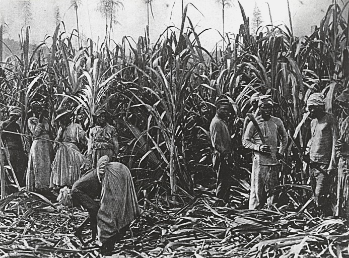 Black-and-white photo of sugar cane standing in field