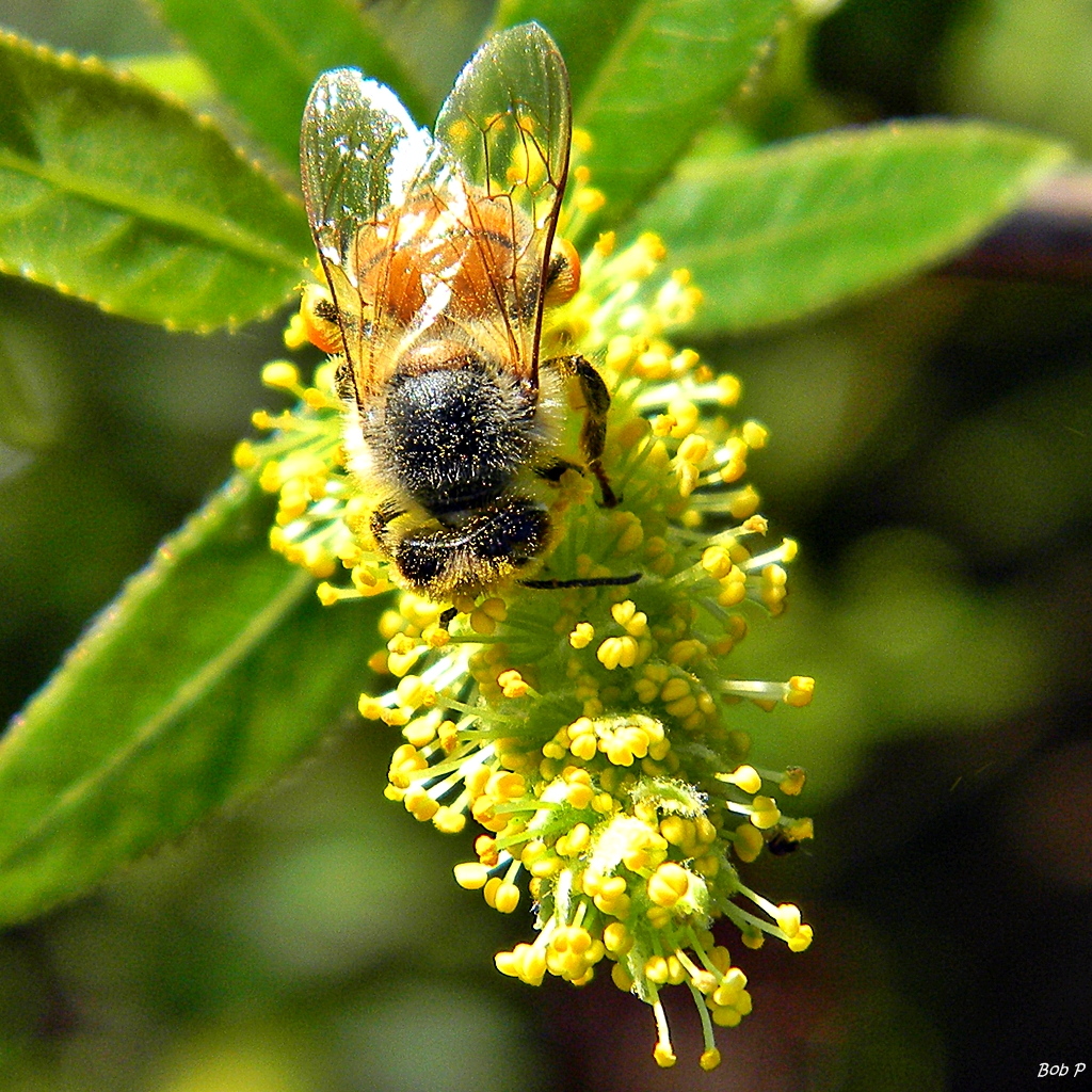 File Pollen Dusted Bee Amp Blooming Willow Salix