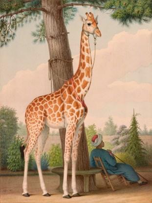 zarafa - girafe - france