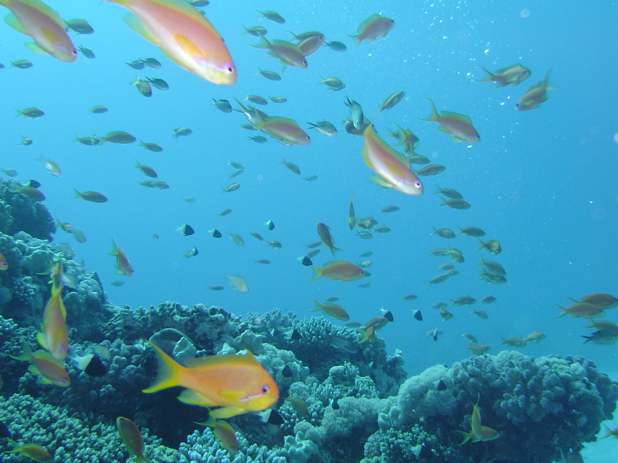 English: Red Sea Reef