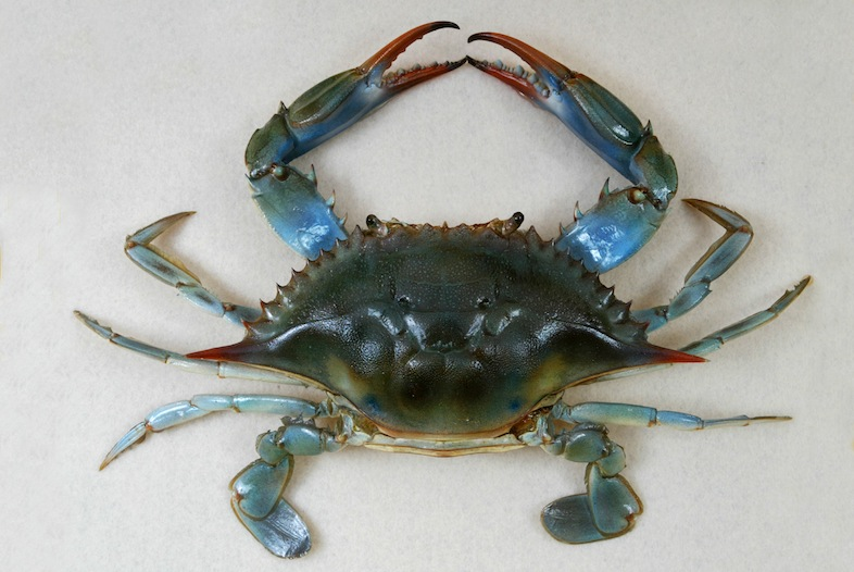 File:The Childrens Museum of Indianapolis - Atlantic blue crab.jpg
