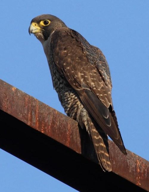 Falco peregrinus good - Christopher Watson.jpg