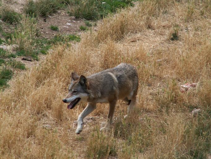 Immagine di lupo appenninico italiano