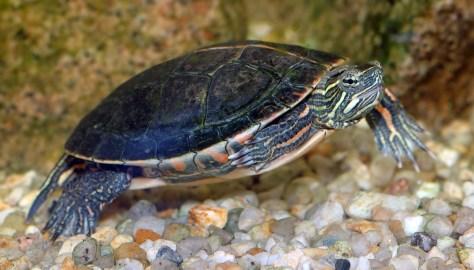 Zierschildkröte Chrysemys picta dorsalis