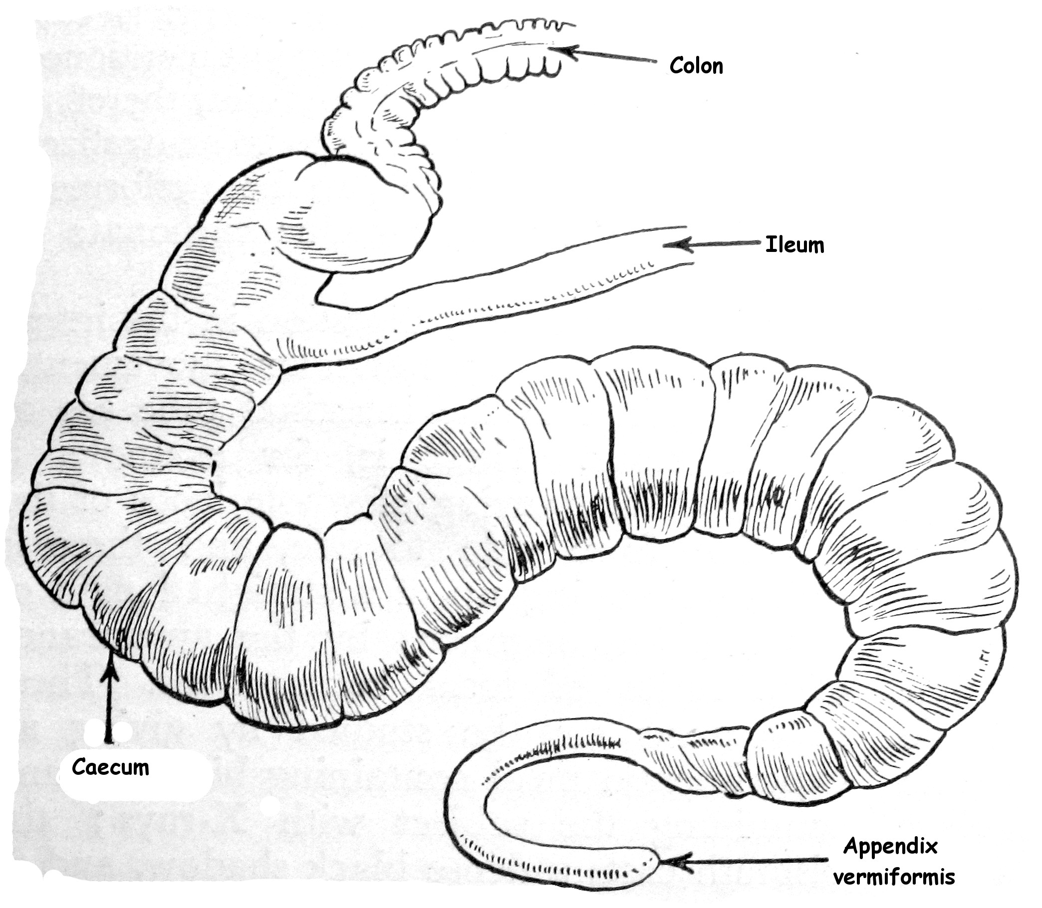 File Ileum Caecum Colon Of Rabbit Img