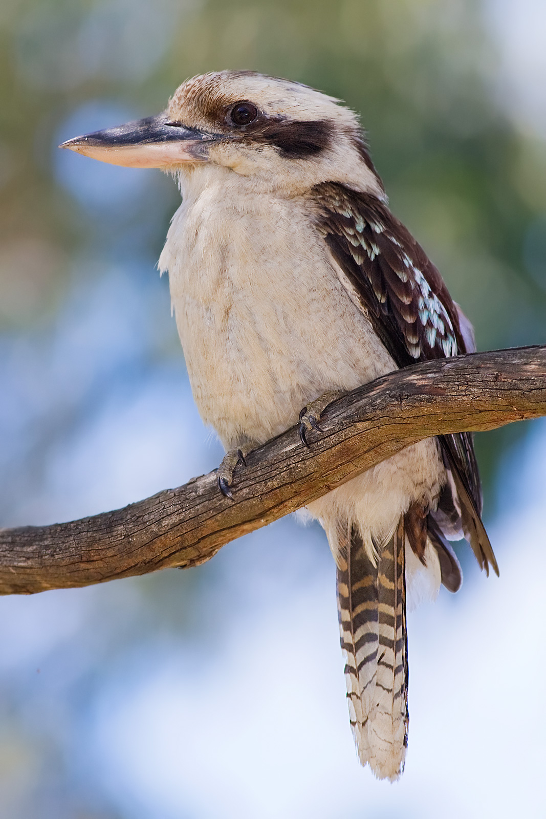 Laughing Kookaburra perched in a eucalypt tree. Taken in December 2008 in Victoria, Australia by Fir0002