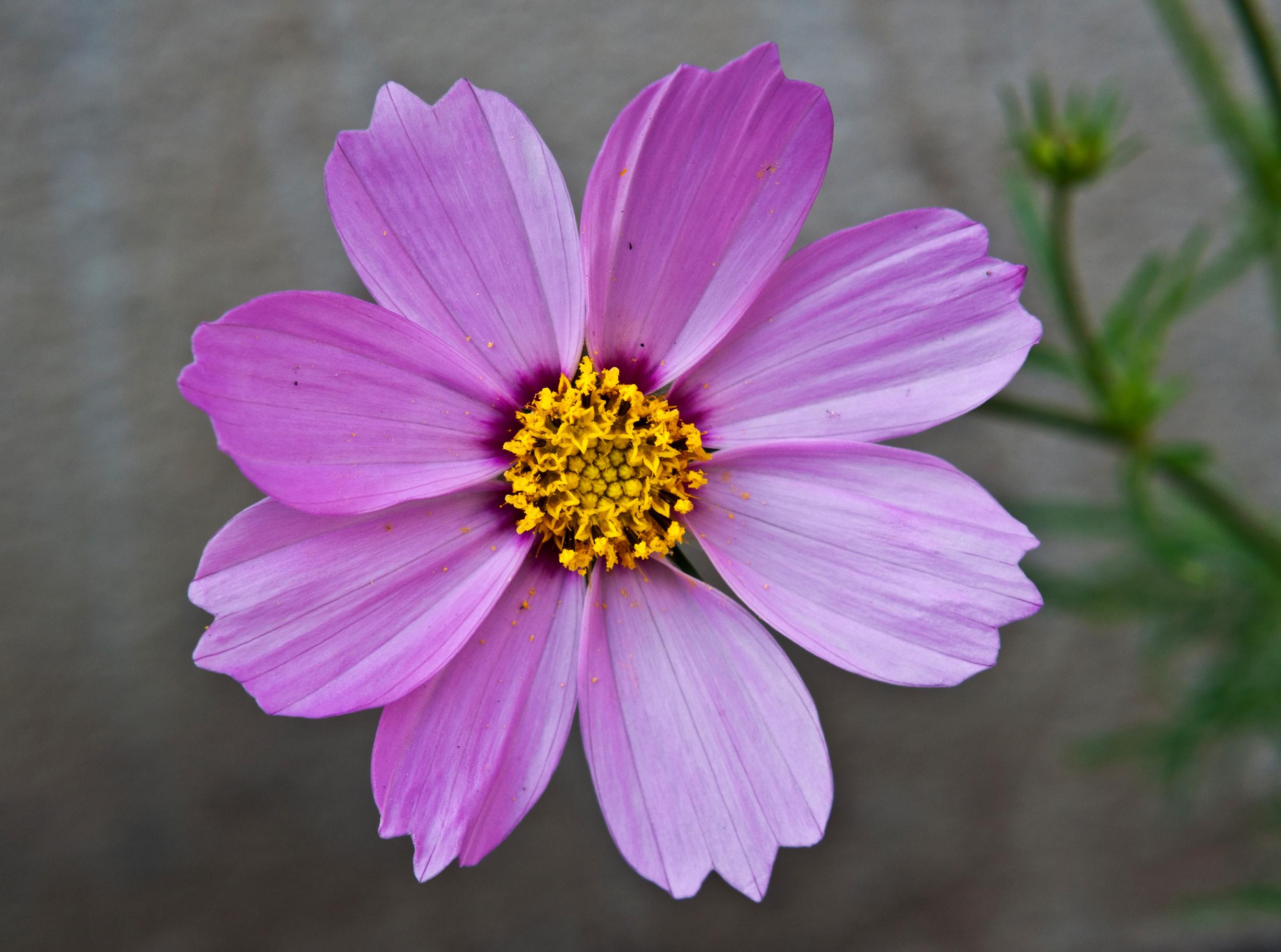 File Cosmos Bipinnatus Pink Burdwan West Bengal India