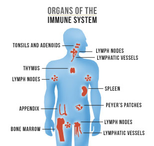 Image result for immune system