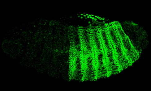 Hox gene expression in Drosophila