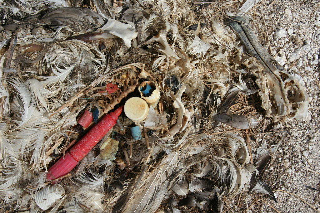 Remains of an Albatross chick showing plastic it had likely been fed by its parents.