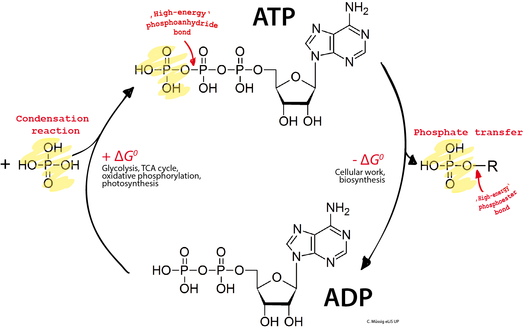 Fichier Adp Atp Cycle
