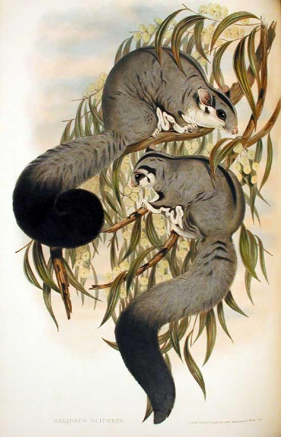 Squirrel Glider Wikipedia