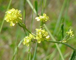 Mù tạc dại (Brassica campestris)