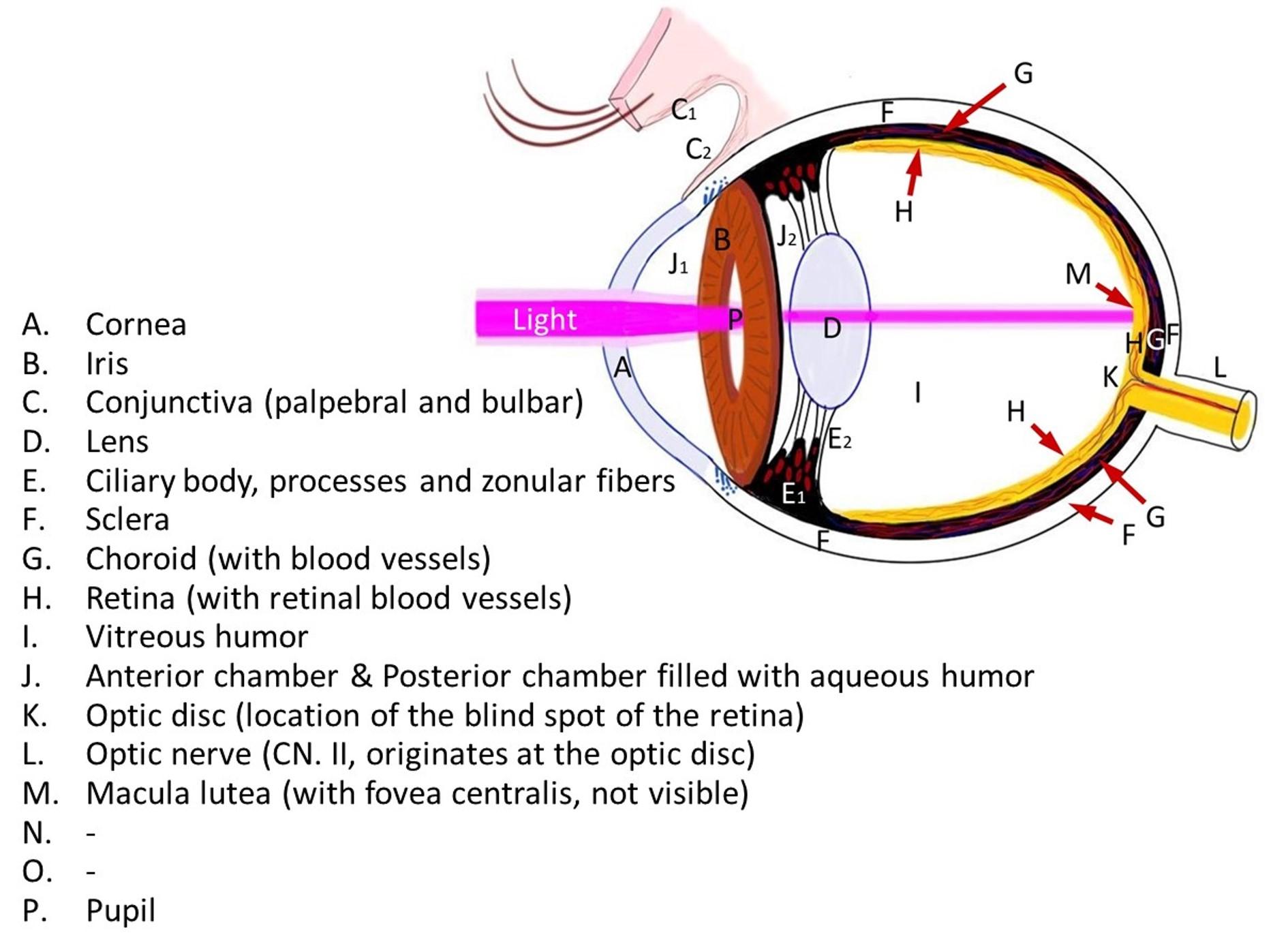 Blood Vessels And Nerves Of The Eye Anatomy Kenhub
