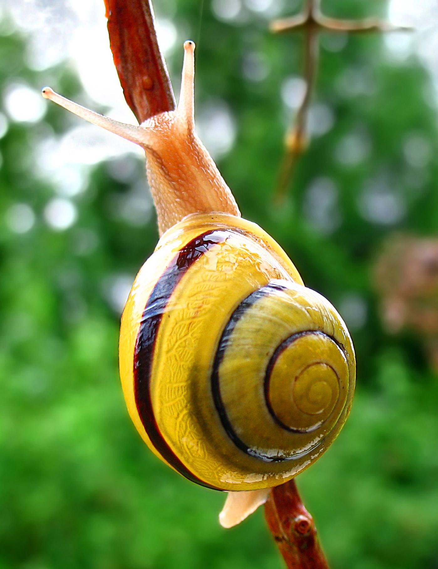 https://i2.wp.com/upload.wikimedia.org/wikipedia/commons/a/a1/Snail-WA_edit02.jpg